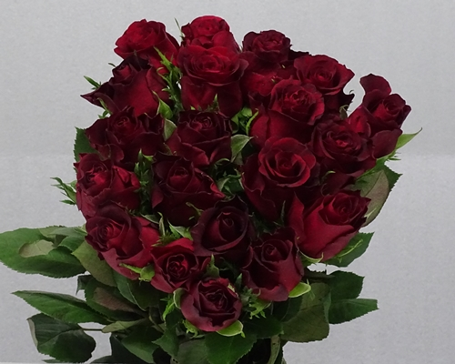 BURGUNDY,Premium, Large headed Rose