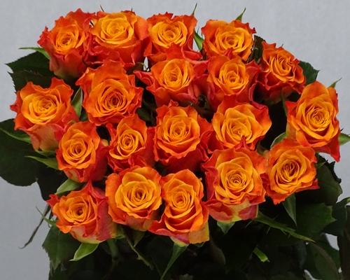 MARIYO,Special Premium, Large headed Rose