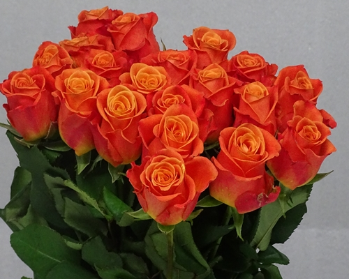 ORANGE CRUSH,Standard Rose